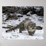 Snow Leopard Cub Stalking Birds Poster