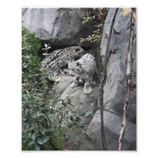 Snow Leopard Cubs on a Ledge Photo