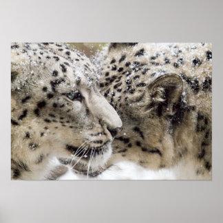 Snow Leopard Cuddle Poster