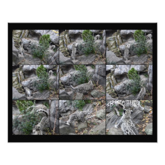 Snow Leopard Hunting Lessons collage Photo Print
