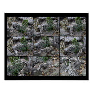 Snow Leopard Hunting Lessons collage Posters