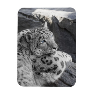Snow Leopard Icy Stare Magnet