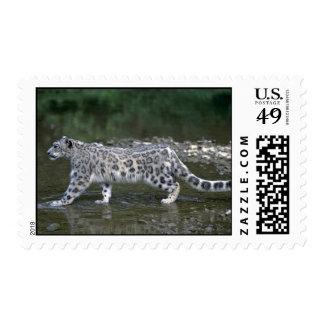 Snow leopard in river stamp