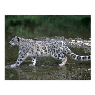 Snow leopard in river post cards