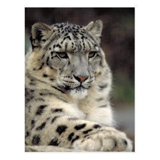 Snow Leopard Info Card