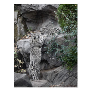 Snow Leopard Mother and Cub Postcard