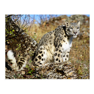 Snow Leopard on the Lookout Postcard