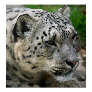 Snow Leopard - On the Lookout! Poster