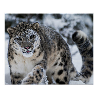 Snow Leopard on the Prowl Poster