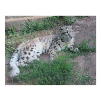 Snow Leopard Post Cards
