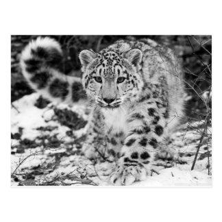 Snow Leopard Post Card