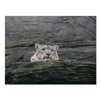 Snow Leopard Resting Post Card