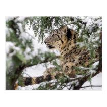 Snow Leopard under Snowy Bush Postcard