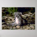 Snow leopard, young cub print
