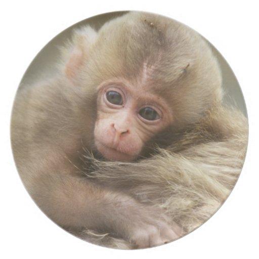 Snow Monkey Baby, Jigokudani, Nagano, Japan 2 Plates