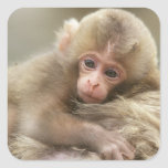 Snow Monkey Baby, Jigokudani, Nagano, Japan 2 Square Stickers