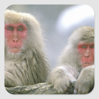 Snow Monkey Couple, Japanese Macaque, Square Sticker