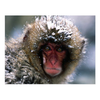 Snow Monkey Postcard