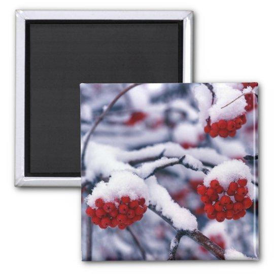 Snow on European Mountain Ash Berries, Utah. Magnet