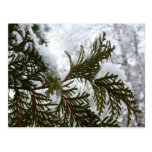 Snow on Evergreen Branches Winter Nature Photo Postcard