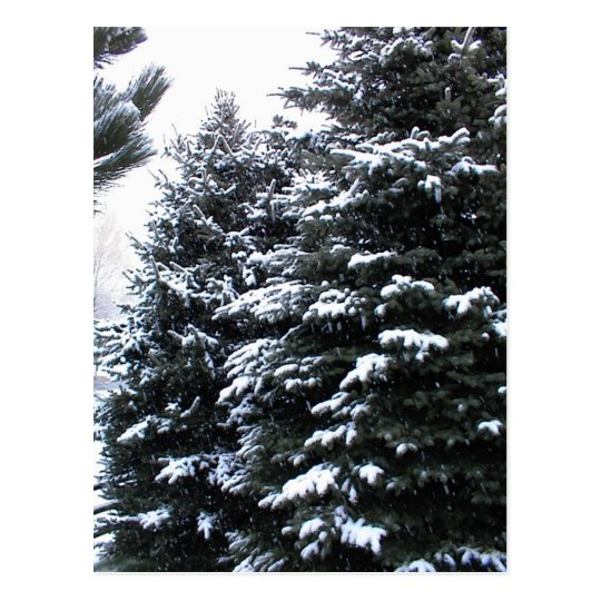 Snow On Firs Postcard