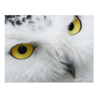 Snow Owl Eyes Postcard