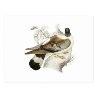 Snow Pigeon Postcard