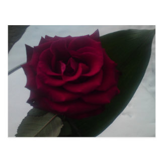 Snow rose postcard