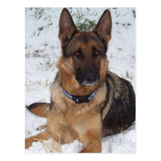 Snow Shepherd Postcard