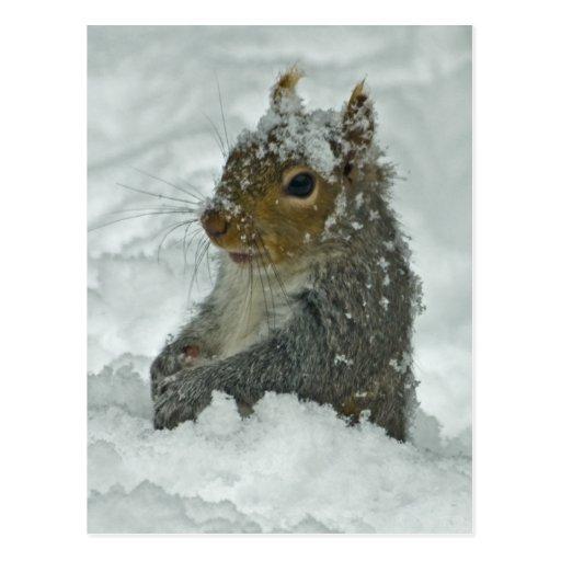 Snow Squirrel Postcard Postcard