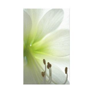 snow white amaryllis canvas print