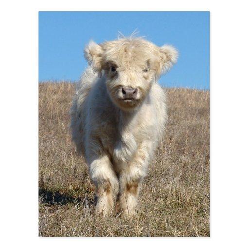 Snowball the Highland calf Postcard