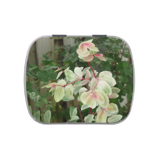 snowbush plant colorful leaves background jelly belly tin