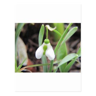 Snowdrop - Birth Flower - January Postcard