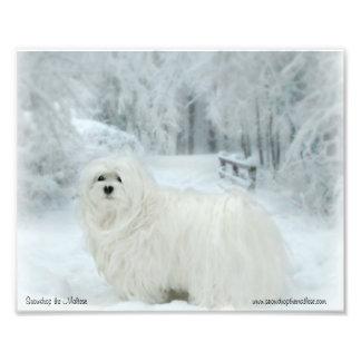 Snowdrop la impresión fotográfica maltesa
