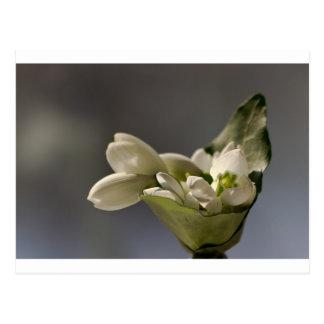 Snowdrop (nivalis de Galanthus) Tarjetas Postales