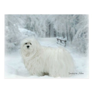 Snowdrop the Maltese Postcard