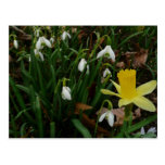 Snowdrops and Daffodil Early Spring Flowers Postcard