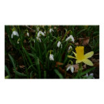 Snowdrops and Daffodil Early Spring Flowers Poster