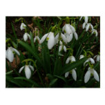 Snowdrops I (Galanthus) White Spring Flowers Postcard