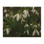 Snowdrops I (Galanthus) White Spring Flowers Wood Print