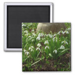 Snowdrops II (Galanthus) White Spring Flowers Magnet