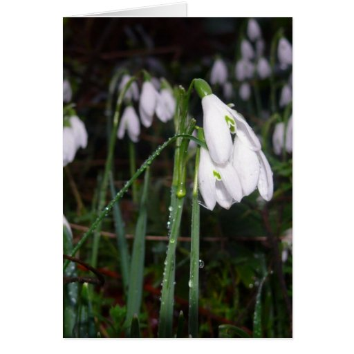 Snowdrops In The Garden Greeting Cards