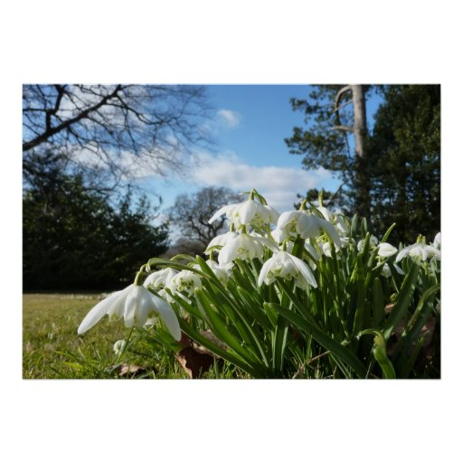 Snowdrops under the apple tree poster