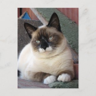 Snowshoe Cat - postcard postcard