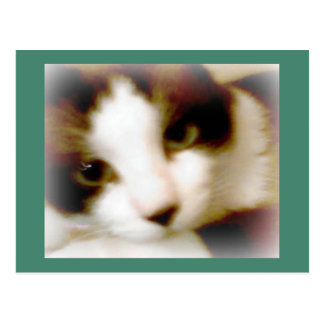 snowshoe smoky frosted kitty postcard