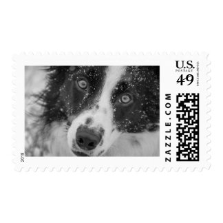 Snowy Border Collie Postage