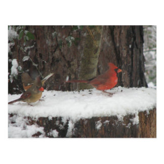 Snowy Cardinals and Towhee Postcard