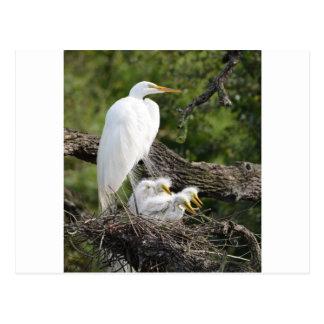 Snowy Egret Family Postcard