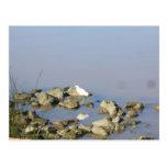 Snowy Egret In the Sacramento River Post Card